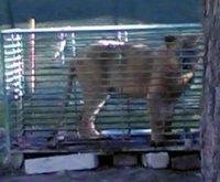 """Denuncian maltrato a un león """"de Monterrubio""""en Berlanga"""